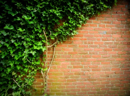 ivy wall: Climbing green ivy on an old brick wall outdoors.