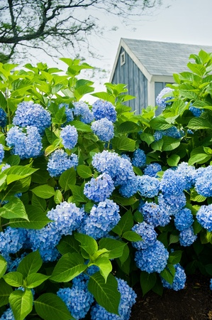 Hydrangea flowers with a small blue cottage in the background.