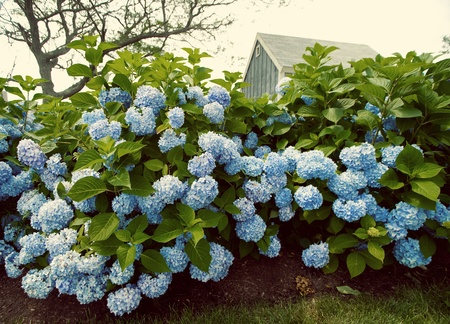 Vintage look with hydrangea flowers with a small blue cottage in the background.