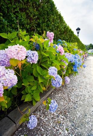 Hydrangeas lining a stone walkway on Cape Cod, Massachusetts.