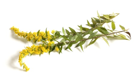 Goldenrod on white