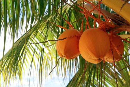 Palm Tree Coconuts  Stock Photo