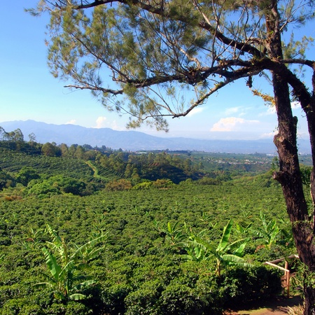 planta de cafe: Plantación de café en Costa Rica con un horizonte de montañas en el fondo, árbol en primer plano Foto de archivo