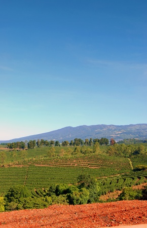 A coffee plantation in Costa Rica with mountains in the background