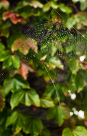 A wet spider web in front of fall foliage Stock Photo - 13804848