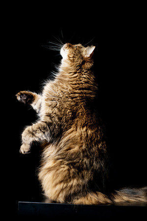 coon: Maine coon cat standing on hind legs Stock Photo