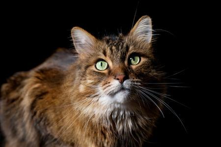 maine coon: Maine Coon Katze auf schwarzem Hintergrund