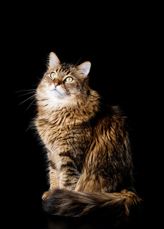 coon: Maine coon cat on black background
