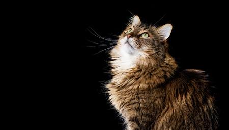 maine coon: Maine coon chat sur fond noir