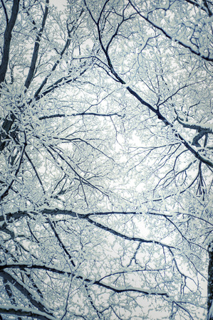 tree branches: Snow covered tree branches