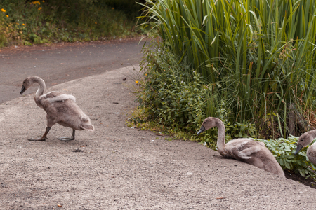 Swan Leads young Cygnets to another pond at night