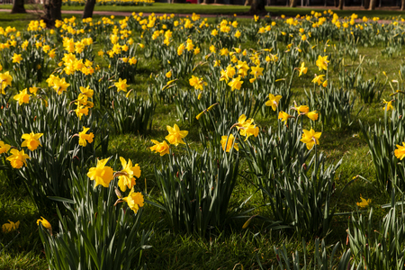 The amazing yellow Daffodils flower field in the morning sunlight Stock Photo