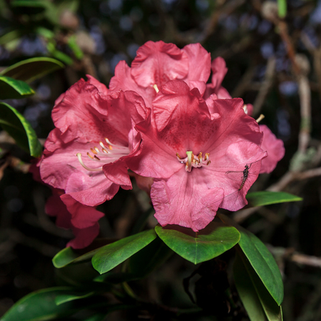 pink blossom bush flower with small insect Scotland Stock Photo