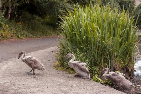 Swans at round pond in queens Park Glasgow Scotland