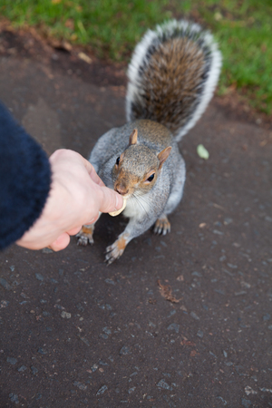 The imported American Grey squirrel in scotland park in Glasgow