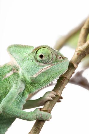 chameleon lizard: Green Juvenile Veil Chameleon lizard isolated on white back ground - Closeup