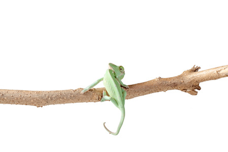 chameleon lizard: Green Juvenile Veil Chameleon lizard isolated on white back ground with copyspace Stock Photo
