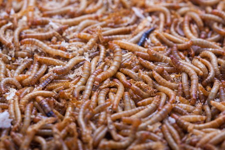 mealworm: A pile of living mealworms larvae. This worm is used as food for feeding birds, reptiles or fish. The image can be used as abstract background