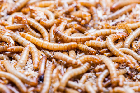 the larvae: A pile of living meal worms larvae. This worm is used as food for feeding birds, reptiles or fish. The image can be used as abstract background
