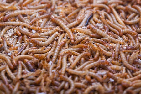 abstract food: A pile of living mealworms larvae. This worm is used as food for feeding birds, reptiles or fish. The image can be used as abstract background