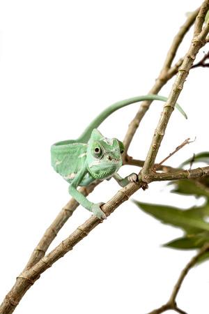 chameleon lizard: Green Juvenile Veil Chameleon lizard isolated on white back ground