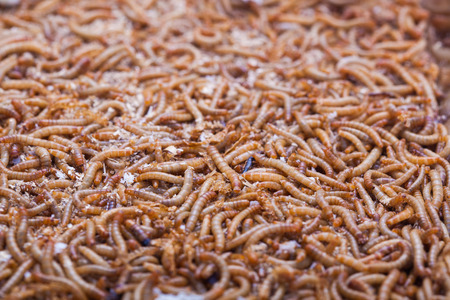 worm infestation: A pile of living mealworms larvae. This worm is used as food for feeding birds, reptiles or fish. The image can be used as abstract background