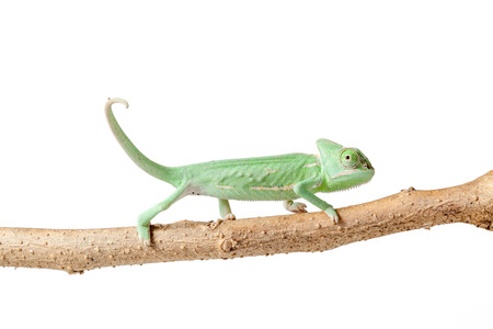 adjusted: Greenish chameleon walking on a branch isolated on white background Stock Photo