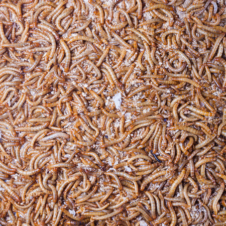 mealworm: pile of living mealworms larvae. This worm is used as food for feeding birds, reptiles or fish. The image can be used as abstract background Stock Photo