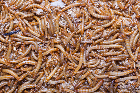 worm infestation: A pile of living meal worms larvae. This worm is used as food for feeding birds, reptiles or fish. The image can be used as abstract background
