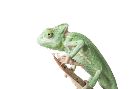 casque: Greenish chameleon on branch isolated on white background