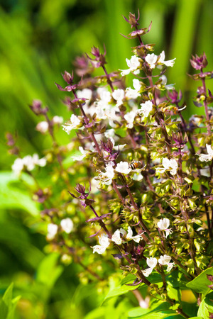 Close up of Ocimum sanctum (Holy basil) flower. Selective focus and tree background. Stock Photo