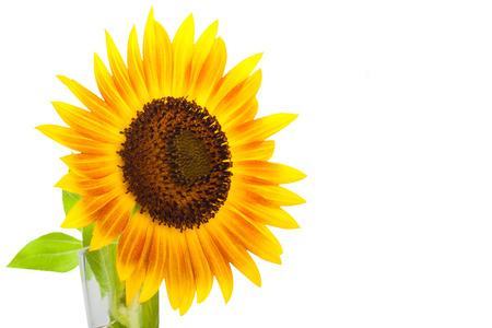 helianthus: HELIANTHUS annuus Firecracker sunflower over isolate white background. Stock Photo