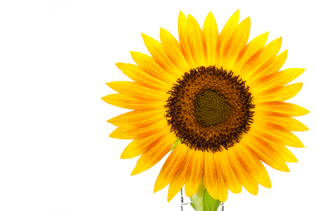 helianthus: HELIANTHUS annuus Firecracker sunflower over isolate white background. with clipping path and copyspace