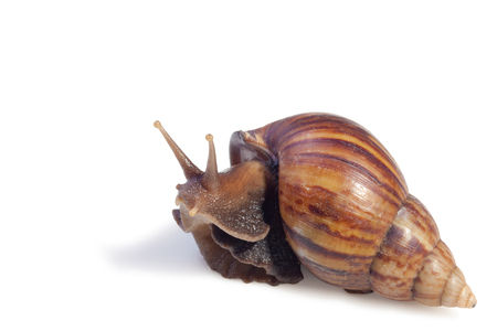 A Garden Snail (Cornu aspersum) isolated on a white background with clipping path.
