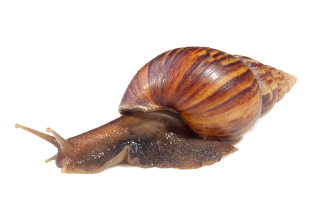 A Garden Snail (Cornu aspersum) hiding in shell isolated on a white background with clipping path.