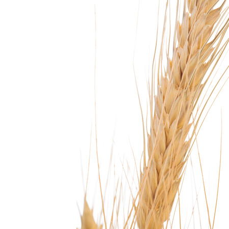 Close up of wheat isolated on white background with clipping path