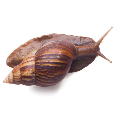 A Garden Snail (Cornu aspersum) isolated on a white background with clipping path. Top view