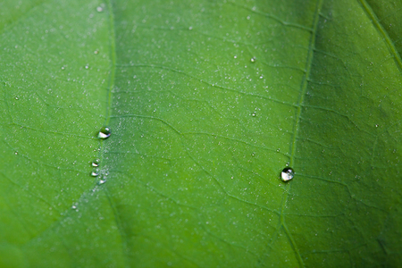 Tiny water droplets on Lotus leaf background 版權商用圖片