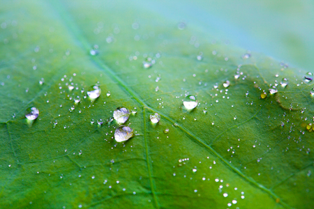 Tiny water droplets on Lotus leaf background 版權商用圖片