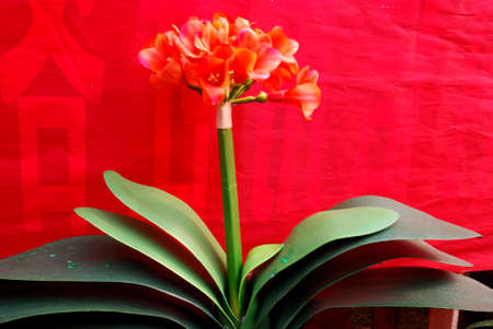 The beautiful flower is in the sunlight in the south of China. Stock Photo - 5192373
