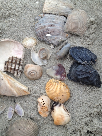 A gathering of sea shells on the sandy beachfront.