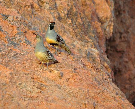 Gambles Quail- Top is the male, predominate quail of central arizona Stock Photo