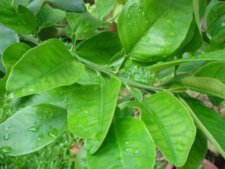 d'arbres fruitiers tropicaux Banque d'images - 2017059