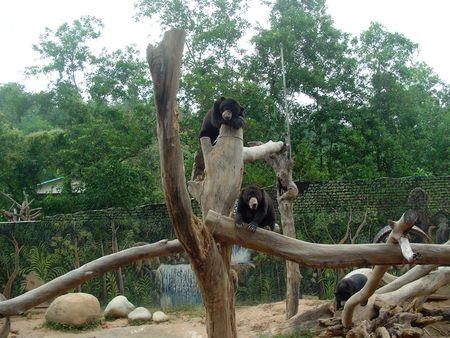 with fondness: Sun Bear fondness for sun-bathing, at Lokkawi Wildlife Park