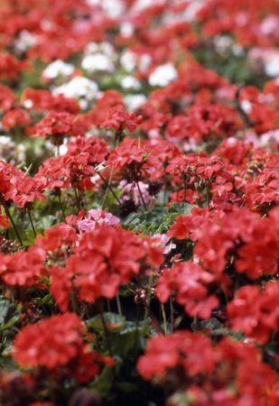 Red Geraniums 版權商用圖片