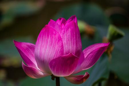 lotiform: Flowers lotus: Nelumbo nucifera Gaertn,Lotus. Stock Photo