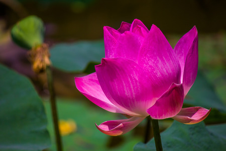 Flowers lotus: Nelumbo nucifera Gaertn,Lotus. Stock Photo