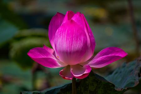 effloresce: Flowers lotus: Nelumbo nucifera Gaertn,Lotus. Stock Photo
