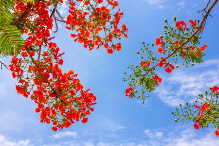 Beautiful Royal Poinciana on Blue Sky Background.