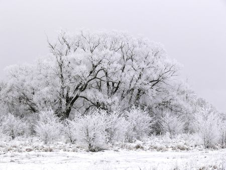 snowlandscape: Trees covered with frost